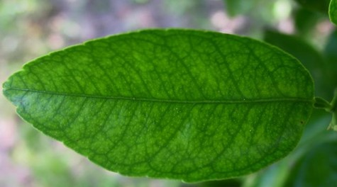 Bisari-Naranjo